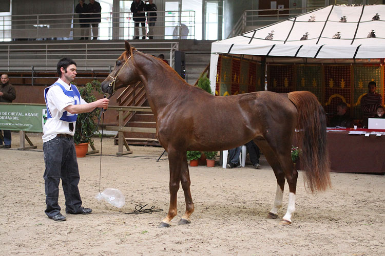 cheval arabe course